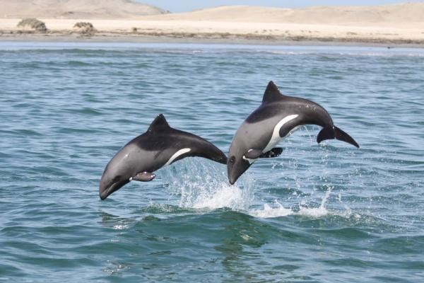 Heaviside's dolphins leap off Namibia
